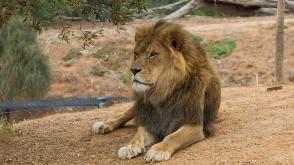 lion-2073292_960_720